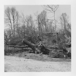 Tornado aftermath: broken and uprooted trees