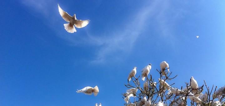 White_Doves